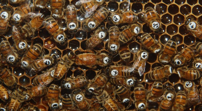 ANALYSIS OF SOCIAL NETWORKS IN HONEYBEE COLONIES