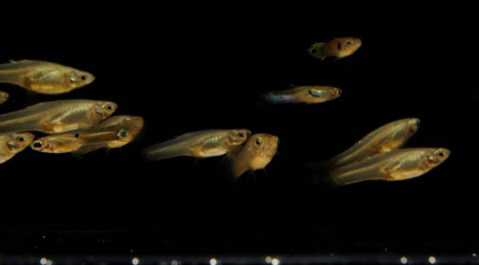 ROBOTIC FISH SWARMS FOR THE ANALYSIS OF COLLECTIVE BEHAVIOR
